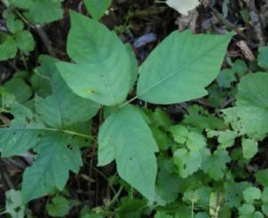 poison-ivy-1